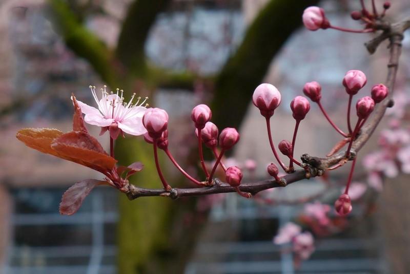 عکس ژاپن شکوفه های گیلاس سفر به ژاپن توریستی ژاپن تور توکیو