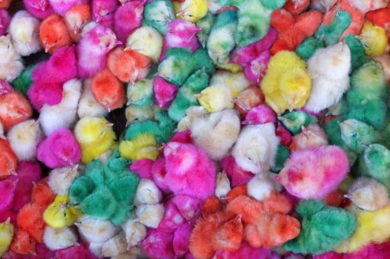 این تصویری از جوجه های رنگ شده در بازار قزوین است که