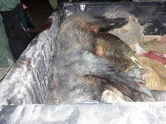 دستگیری شکارچیان گراز در شهرستان رضوانشهر