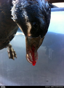 اردک سرسفید که 40 سال پیش در اروپا حفاظت شده اعلام شد