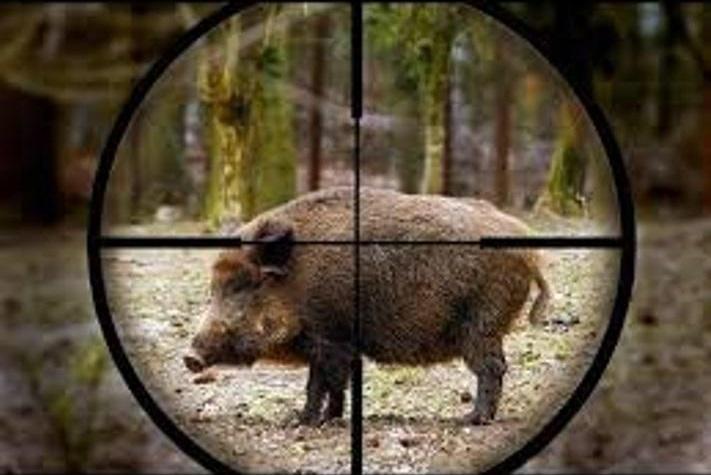 حکم جالب یک قاضی علیه شکارچی سابقهدار گراز در رضوانشهر
